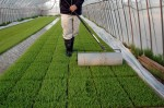 稲の苗にローラーをかけている写真