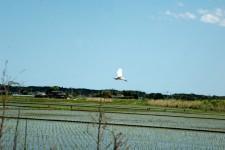白鷺の写真