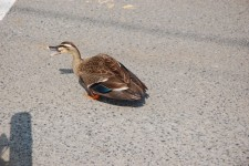 おととい見た鴨とは違って羽にストライプが入っています