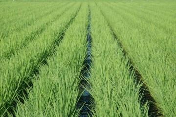 さんの田んぼ。6条植えの機械を4条しか使わないで植えて、風通しを良くしているのだそうです。皆さん色々な工夫をして米を作っているのですね。