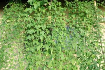 ↑クリックで拡大します ルコウソウとアサガオの混合で、今アサガオは盛りです ルコウソウの盛りはまだのようで、ぽちぽちとかわいい花を咲かせています