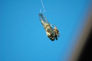 ちょっとびっくりな写真。大きなミンミンゼミもクモに捕まってしまいます