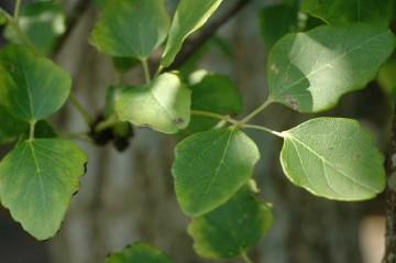 アケビの葉っぱ。特徴的なので、山の中でも目立つはずです。