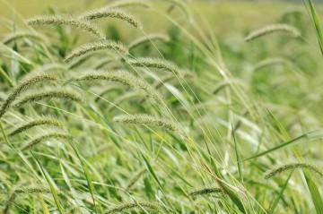 稲が黄色く色づいてきたのと同じように、エノコログサも心持ち色づいてきたように思います。