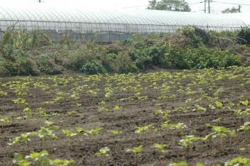 畑は2枚分です。これをどうやって収穫、粉にするのでしょう・・・・やりたいような、やりたくないような、怖いような感じです。
