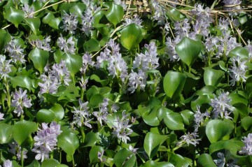 ホテイアオイの花、満開です。