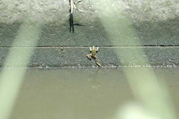 トノサマガエルは吸盤がないのでこういうところに落ちると這い上がれないそうです。