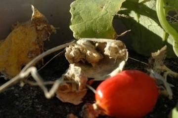 バラしてみると中身はスッカスカ。種はカボチャの綿のようなものに包まれています。