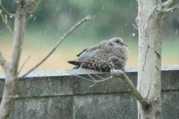 ポッポーおかあさん(そう決めちゃいます)は雨でびしょびしょ。