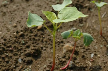 かなり大きくなった蕎麦の芽の写真