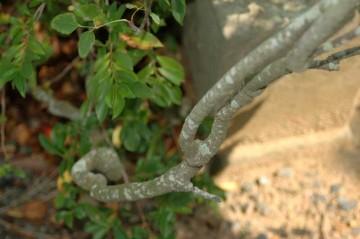 アケビの蔓。結構しっかりしています。