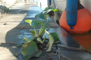 さすがにこれはダメでしょう。しかしタフな植物です。
