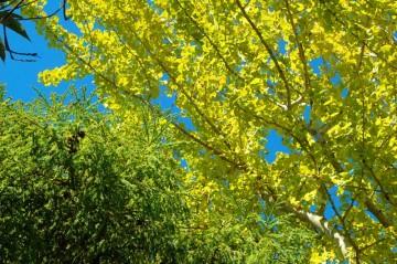 この日はすばらしいお天気でした。オレンジの球が見えますが、おなじく銀杏です。