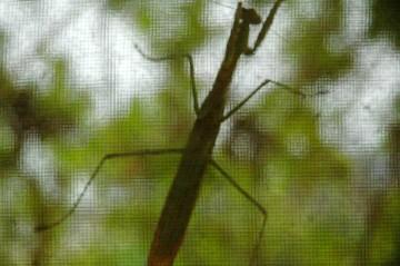 やってくる虫を食べるためにカマキリも、もちろんクモも
