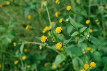 センダングサ(引っ付き虫)の写真