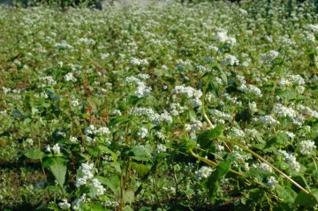 蕎麦の花の全体像