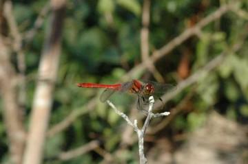 とにかくまあトンボです。こんな真っ赤なトンボがたくさん飛ぶようになったら楽しいだろうな・・・と思います。