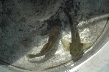 ハゼが全く釣れなかったので似たようなハゼ科の魚ヨシノボリをお土産に持ってきてくれました。