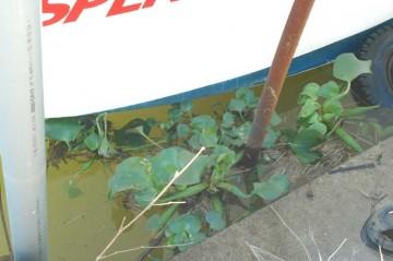 10/11に見つけたずっと下流まで流れていったホテイアオイ。船と岸の間、汽水域だとだと思われます。これが・・・