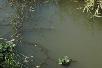 11月9日、同じ用水の水面。まるっきり、さっぱり跡形もありません。ちゃぷちゃぷとホテイアオイが浮いているだけです。