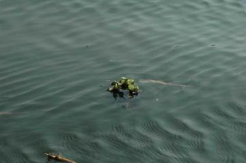 外洋に出て行くホテイアオイ。行き着く先の環境がよければそこで増えるはずです。