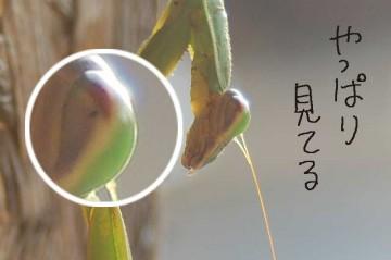 カマキリの瞳の写真