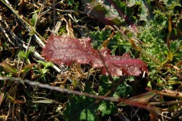 雑草の紅葉