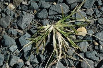 これは?イネ科の植物ですが、このまま冬を越しちゃいそうな気もします。