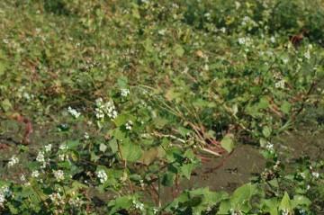蕎麦畑の写真