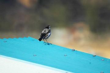 冬羽根のオス。頭が黒、背中が灰色のこの取り合わせは、夏羽根のメスと同じカラーリングみたいです。おもしろいですね。