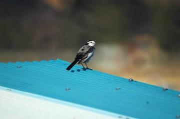 白いお顔に黒いアイライン。スズメくらいですが、尾の長い鳥です。
