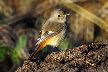 こんな小さな鳥が、チベット、中国東北部、沿海州、バイカル湖周辺から日本にやってきたというのですから驚きです。フレーム一杯に捉えることができました。