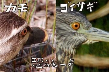 たまたま撮ってあった鴨の目の写真との比較。どちらもオレンジ色で、黒目が小さくて怖い。目だけ見るとちっともかわいくありません。