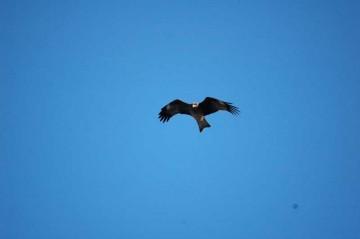 なんとかピントもそこそこ合ったトンビの写真。空気を抱え込むようにして空中を漂っている様子がよくわかります。よく見ると、こちらをにらんでいる感じです。まだまだこんなものでは終わりません。乞うご期待。