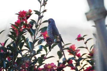 この季節はサザンカの花に首を突っ込んで、蜜を吸っているのかな?この姿を良く見かけます。しかしこれも逆光。