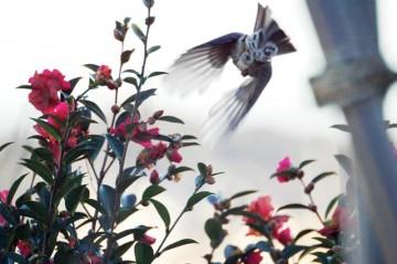 なかなかすばしこく、人に慣れない鳥です。・・・飛んでいってしまいました。