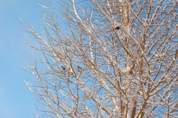お地蔵様のイチョウの木にも雪が積もっています。ポッポーさんと、ムクドリが寒そうに枝に止まっています。