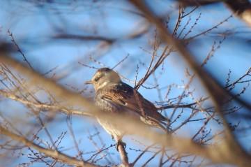 鳩と間違うくらいけっこう大きくなっているから、冬はやっぱり太ってもいるのかな。