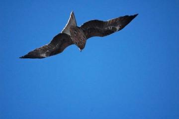 尾翼?を立ててバランスをとるトンビ。見ていると、しっぽや羽の先でこまかくバランスをとっているのがわかります。そしてその上でキョロキョロしている・・・よくできているなあ。