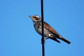 暖かければごくごく普通の小鳥のシルエット