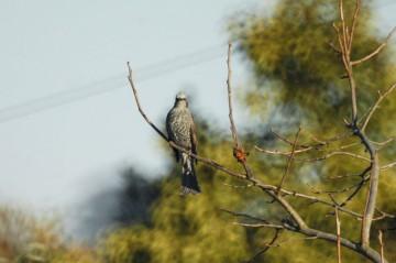 ホントにこの鳥は正面から見ると薄い(スリム)です。