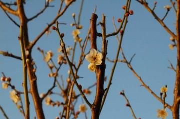 白いほうの梅はぼちぼちの二分咲きな感じです。