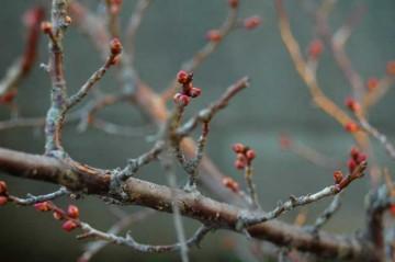他のところはもう咲いているのに、紅梅はまだつぼみです。