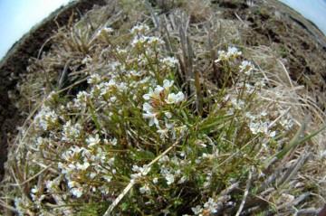 白い花の中心と茎の部分?がエンジ色なのがちょっとナズナと違うところで、それがかわいらしいです。