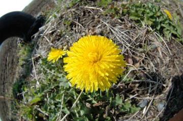 寒さがずっと続いて、急に咲いたもんだから茎が短く花だけポコッと咲いている感じです。