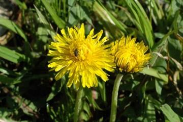 セイヨウタンポポの花