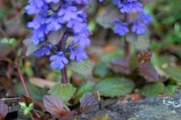 ロゼットちゃんで冬を越して、暖かくなったら花を咲かせて、さらに子も増やす・・・戦略が見えてきました。