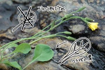 オオジシバリの葉っぱ