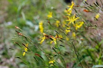 黄色い花のニガナは集団で咲いています。