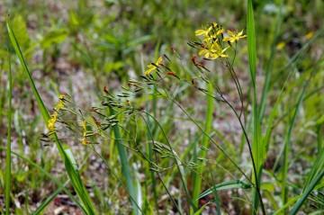 線の細く花びらが五枚の黄色い小さな花。ニガナだと思います。